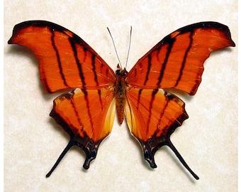 Framed Butterfly Ruddy Dagger Conservation Display 710
