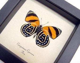 Real Framed Orange Catagramma Cynosura Butterfly Shadowbox Display 714V