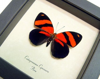 Valentine's Day Gift Red Catagramma Cynosura Butterfly 714