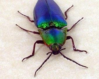 Real Framed Magical Rainbow Jumping Bean Click Beetle 7812