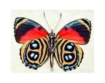 Crazy Colors Dots Callicore Real Framed Butterfly Display 296V