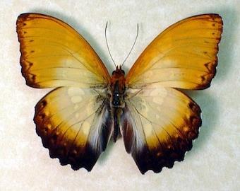 African Sunrise Cymothoe Beckeri Conservation Display 117
