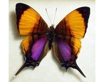 Great Christmas Gift Real Purple Orange Conservation Quality Butterfly Display 300