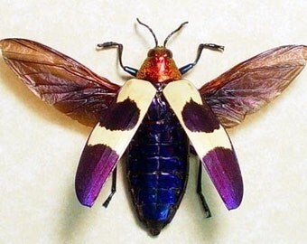 Real Framed Flying Purple Jewel Beetle Shadowbox Display 2105F