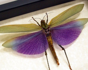 Real Framed Titanacris Albipes Purple Grasshopper Shadowbox Display 7736