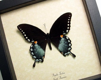 Real Framed Papilio Troilus North American Butterfly Shadowbox Display 546