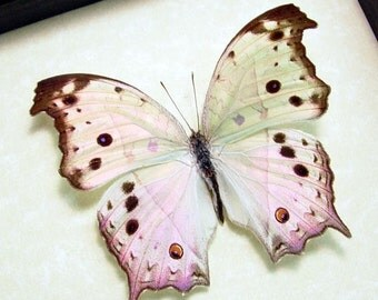 Great Christmas Gift Mother Of Pearl Real Framed Butterfly Beautiful 200