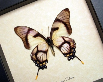 Framed Butterfly Real Conservation Quality Display 495