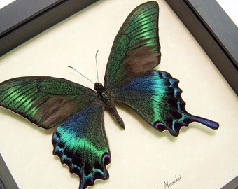 Great Christmas Gift Real Green Papilio Maackii Butterfly Conservation Quality Display 119