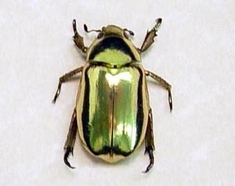 Real Framed Beetle Chrysina Resplendens Looks like 24k gold 2433