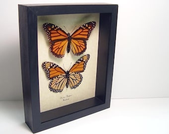 Valentine's Day Gift Real Framed Butterfly Danaus Plexippus The Monarch Pair  111s