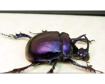 Valentine's Day Gifts Best Seller For 12 Years Our Real Framed Ancient Beetle Scarab 2274