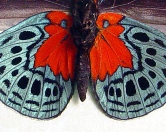 Blood Red Patch Halloween Decoration Real Butterfly Conservation Display 819