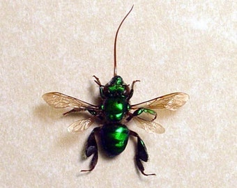 Real Framed Metallic Green Orchid Bee Costa Rica 7723
