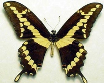 Real Framed North American Yellow Banded Swallowtail Butterfly 6282