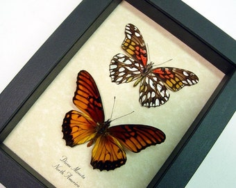 Real Framed Dione Moneta Pair Conservation Butterfly Shadowbox Display 7887