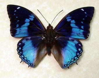 Real Framed Blue Charaxes Smaragdalis Butterfly Shadowbox Display 202