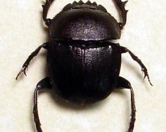 Sacred Scarab Ancient Egyptian Scarabaeus Beetle Framed 2480