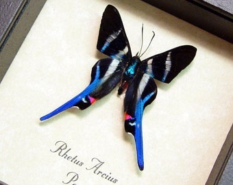Black Friday/Cyber Monday Sale Rhetus Arcius Real Conservation Framed Butterfly Display 354