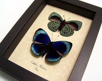 Metallic Blue Green Spotted Real Butterfly Conservation Pair 355p