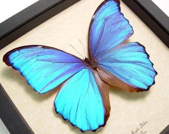 Blue Morpho 416