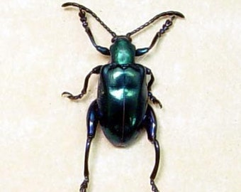 Real Framed Blue Shiny Kangaroo Sagra Beetle 7919