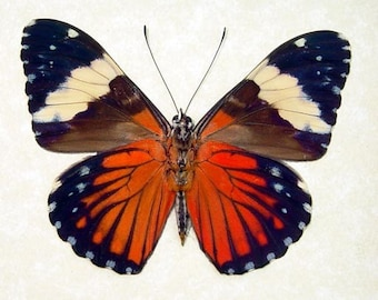 Blue Red Streaks Hamadryas Real Framed Butterfly 7936