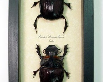Real Framed Giant Horned Scarab Dung Beetle Pair 7920