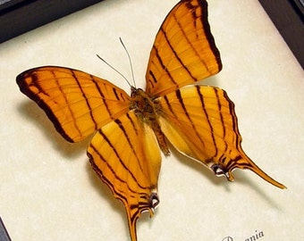 Real Framed Museum Rare Tiger Striped Butterfly 680