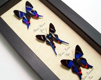 Real Framed Butterflies 3 Sapphire Blue Rhetus Set 1065