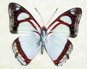 Real Framed Butterfly Mint Blue Pyrrhogyra Otalais 7951
