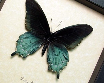 Real Framed The Pipevine Swallowtail Butterfly Shadowbox Display 548