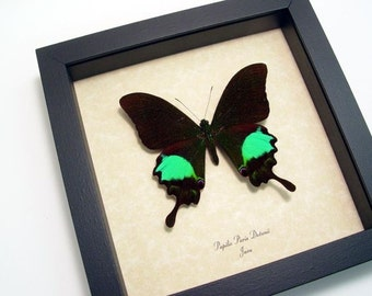 Dad's & Grad's Gift Green Peacock Papilio Paris Detanii Real Butterfly 7860