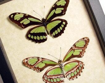 Bright Peru Green Glider Pair Real Framed Butterflies 483p