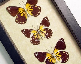 Caper Whites Real Australian Butterfly Collection 7968