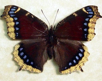 Real Framed Butterfly Nymphalis Antiopa Mourning Cloak Shadowbox Display 556
