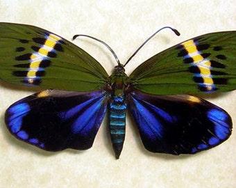 Framed Real Rare Colorful Day Flying Moth Female 8012F
