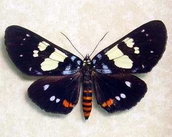Rare Real Colorful Framed Tiger Day Flying Moth 8018