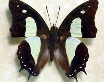 The Common Nawab Real Framed Butterfly 8026
