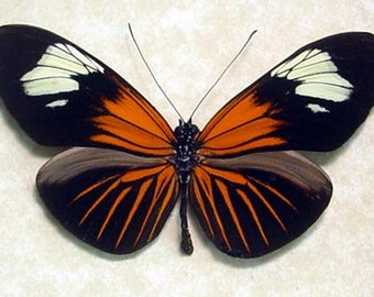 Poisonous Red Postman Heliconius Erato Real Butterfly 8022