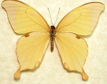 Papilio Nobilis Real Rare Swallowtail Butterfly 8029