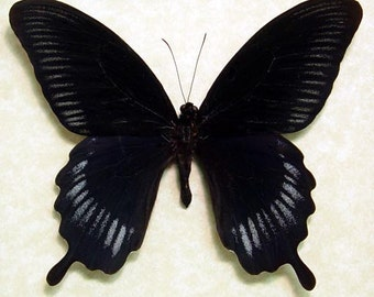 Real Framed Butterfly Giant Black Swallowtail Papilio Deiphobus 8049