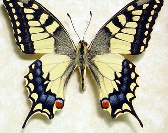 Japanese Butterfly Papilio Machaon Real Framed Butterfly 498