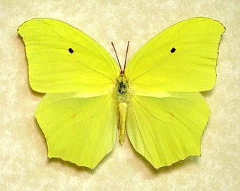 Real Framed Yellow Angled Sulpher Anteos Maerula Jamaica Butterfly 1012