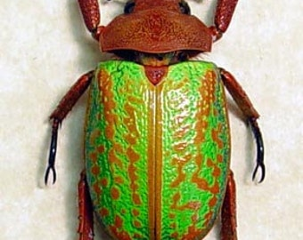 Rare Green Orange Jewel Scarab Beetle Plusiotis Victorina 8062