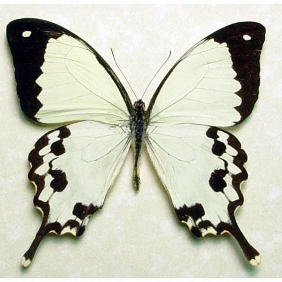 BUTTERFLY REAL SWALLOWTAIL framed MADAGASCAR 130