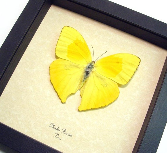 Dad's & Grad's Gift Real Yellow Teardrop Butterfly Conservation Quality Display 155