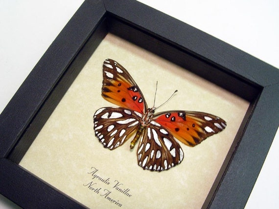 Passion Butterfly Real Framed Orange Gulf Fritillary 7888