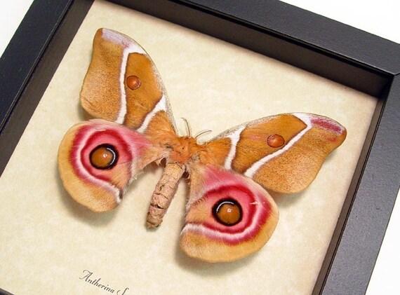 Pink Female Antherina suraka Madagascan Moth Display 638F