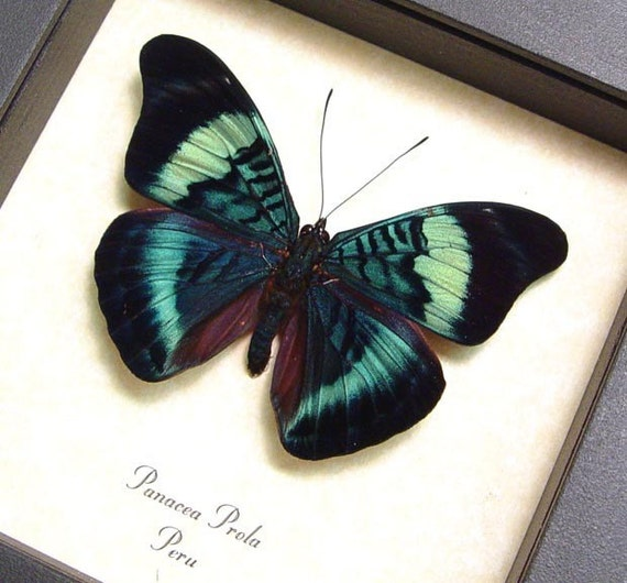 Real Framed Panacea Prola Butterfly Shadowbox Display 156